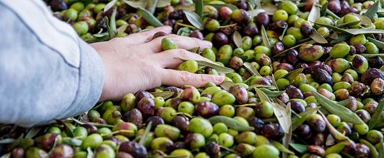 olivenöl kaufen die ernte der Coratina oliven