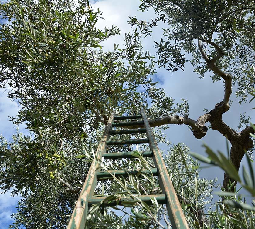 olivenöl ernte vom baum aus Coratina oliven