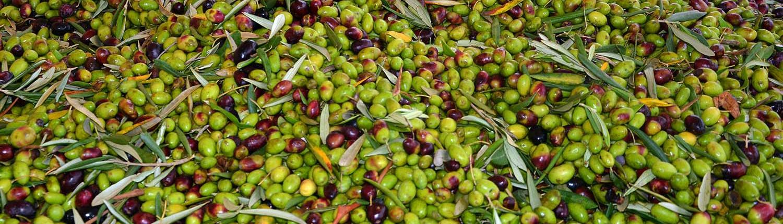 olio d'oliva extravergine di oliva coratina pugliese